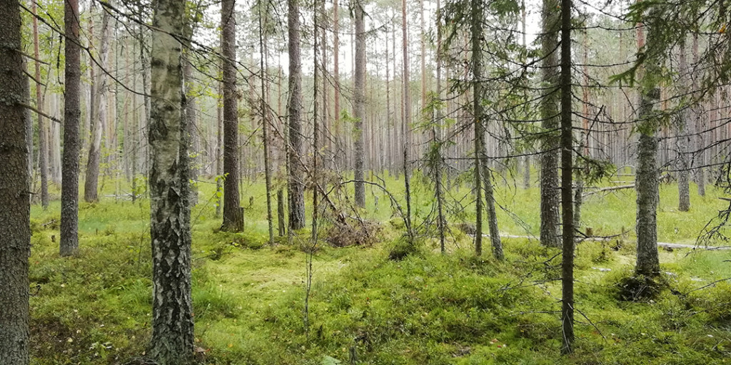 Лес смоленского поозерья